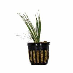 Eleocharis parvula (Dwarf Hairgrass)