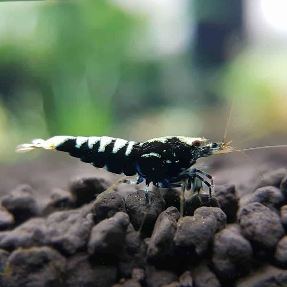 Black Pinto Shrimp