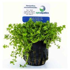 "Hemianthus Micranthemoides ""HM"""
