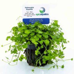 Hydrocotyle Tripartita