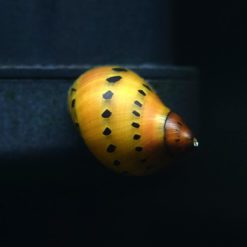 Onion/Tiger Nerite Snail