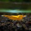 Sunkist Pumpking Shrimp