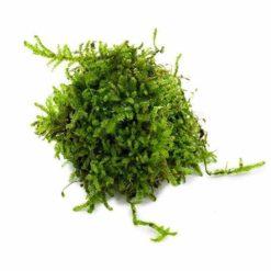 Vesicularia 'Christmas moss'
