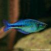 Lake Kutubu Blue Rainbowfish