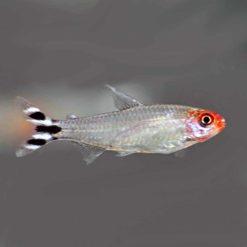 Rummy nose tetra (Hemigrammus rhodostomus)