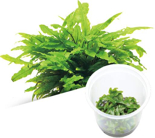 ADA - Cryptocoryne wendtii 'Green'