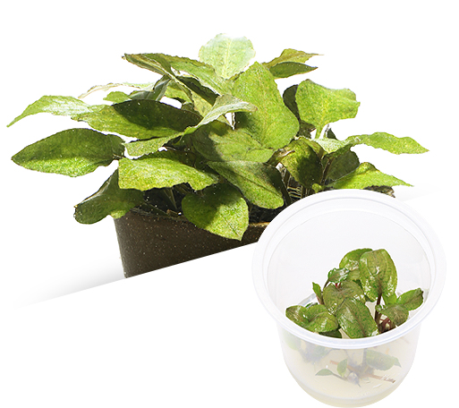 ADA - Lagenendra meeboldii 'green'