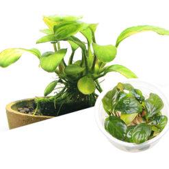 ADA - Anubias barteri var. 'coffeefolia'