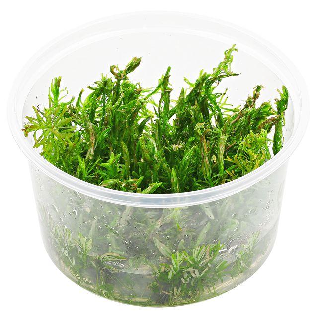 ADA – Rotala wallichii 'long leaf'