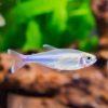Blue King Tetra (Boehlkea fredcochui)
