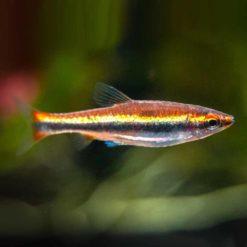 Golden Pencilfish (Nannostomus beckfordi)
