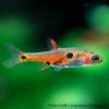 Strawberry Rasbora - Boraras naevus