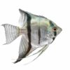 Silver Angelfish (Pterophyllum scalare)