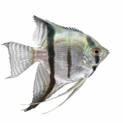 Silver Angelfish (Pterophyllum scalare)