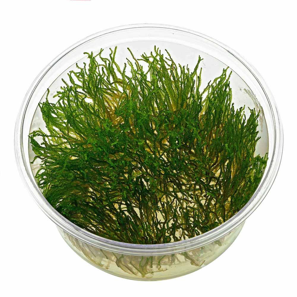 ADA - Taxiphyllum sp. 'flame moss'
