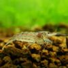 Algae Shrimp 2