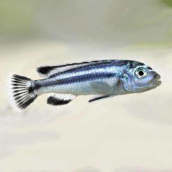 Electric Blue Johanni Cichlid (Melanochromis johannii)