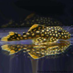 Golden Nugget Pleco L081 (Baryancistrus sp.)