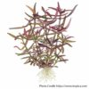 Hygrophila sp araguaia