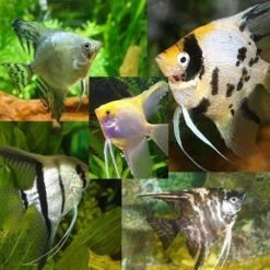 Assorted Angelfish (Pterophyllum scalare)