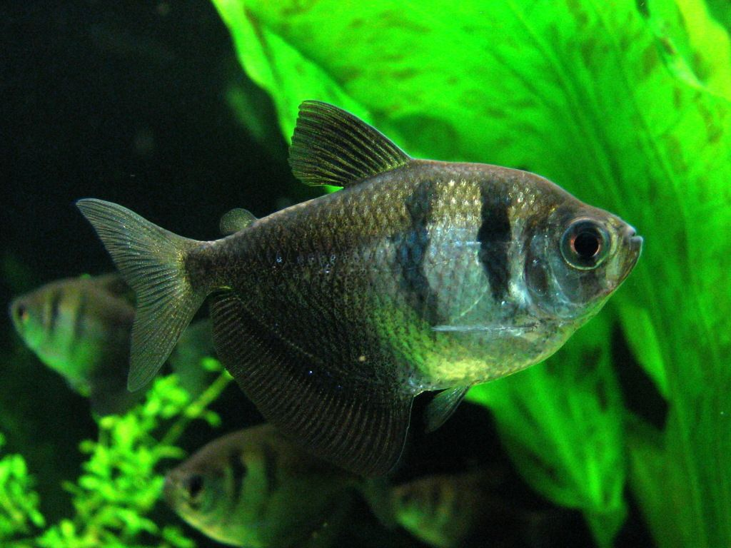 Black Widow Tetra (Gymnocorymbus ternetzi)