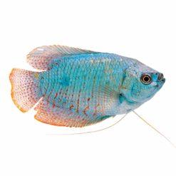 Dwarf Gourami Blue (Trichogaster Ialius)