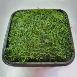 """ADA - Taxiphyllum sp. """"Peacock Moss"""" (Wabi-Kusa Mat)"""