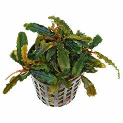 Bucephalandra sp. 'Catarina'