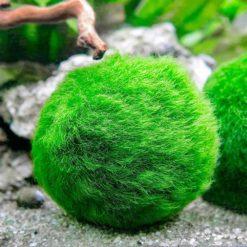 Marino Moss Balls (Small)