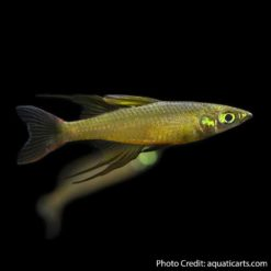 Threadfin rainbow (Iriatherina werneri)