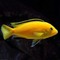 False Lemon Cichlid (Labidochromis caeruleus)