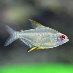 Lemon Tetra (Hyphessobrycon pulchripinnis)