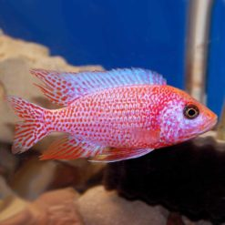 Strawberry Peacock Cichlid (Aulonocara sp. 'strawberry')