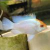 Powder Blue Ram (Mikrogeophagus ramirezi)