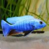 Electric Blue Hap (Sciaenochromis ahli)