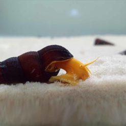 Yellow Orange Rabbit Snails
