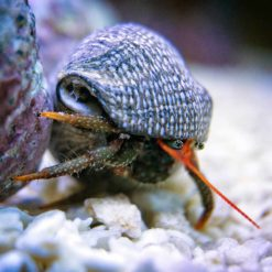 Dwarf Red Tip Hermit Crab (Clibanarius sp)
