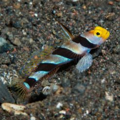 Hi Fin Red Banded Goby (Stonogobiops nematodes)