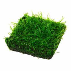 ADA - Versicularia montagnei 'Christmas Moss' (Wabi-Kusa Mat)